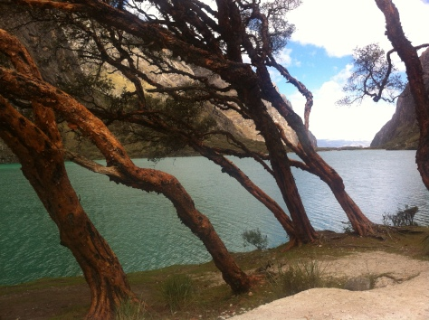 En primer plano el árbol más típico del lugar la Quenua, al fondo la laguna de Llanganuco (Warmicocha).