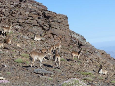 Cabras Montesas, fauna típica de esta sierra.